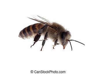 insect, bij
