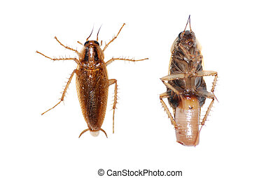 insect cockroach isolated in white