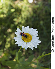 insect collects nectar from white flower in summer close up