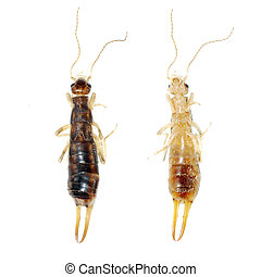 insect earwig isolated