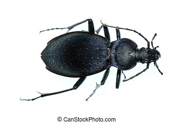 insect ground beetle bug - insect ground beetle (Carabus ...