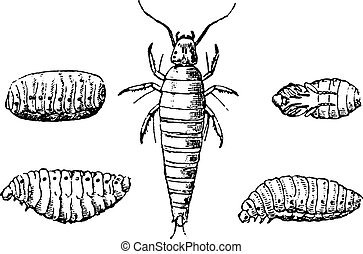 Insect larvae and nymphs vesicant, vintage engraved illustration. Natural History of Animals, 1880.