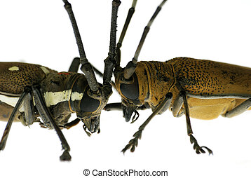 insect long horn beetle fight