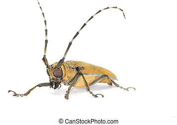 insect long horn beetle isolated