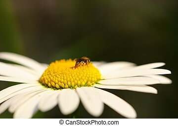 insect on a flower daisy, macro