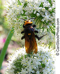 insect on a flowering onion