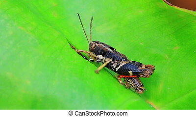 Grasshopper perching on a leaf - insect on leaf, Grasshopper...