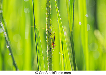 Insect on young green paddy