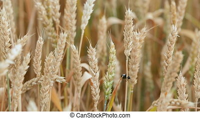 Insect pest of agricultural crops. Grain black beetle on spikelets of wheat