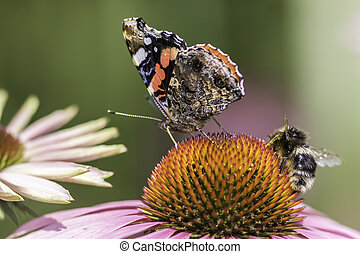 Insect pollination - Insects pollinating an Echinacea flower...