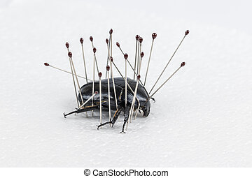 insect needles hold the darkling beetle on white foam board, insect specimen making