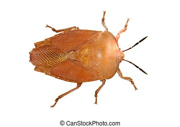 insect stink bug isolated in white