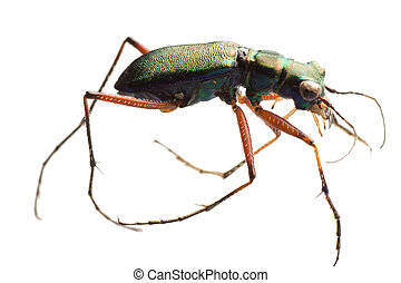 insect tiger beetle