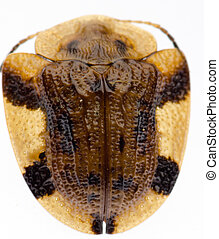 insect tortoise beetle
