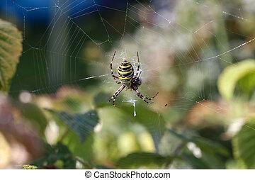 Insect /Wasp spider / Argiope bruennichi .