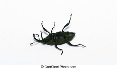 insect, weevil
