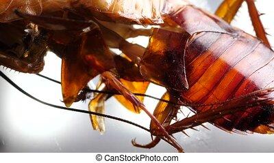 insecte, cafard