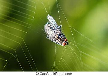 insecte, toile, mouche, -, attrapé, araignés