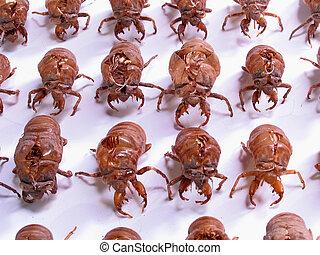 insecto, army:, militar, cigarra, conchas