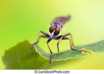 insecto,  -,  Asilidae