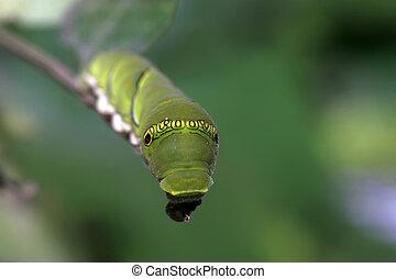 insectos, larvas