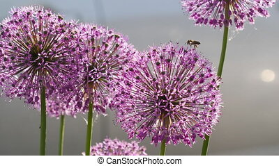Insects on the onion flower