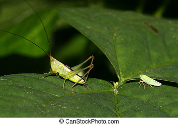 insects - a kind of orthoptera insects