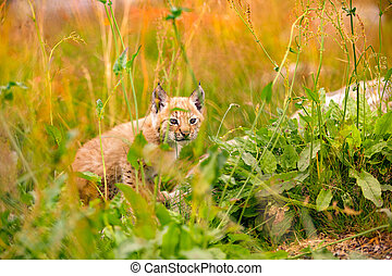 Insecure and Vulnerable Lynx Cub Sitting Amidst Plants In...