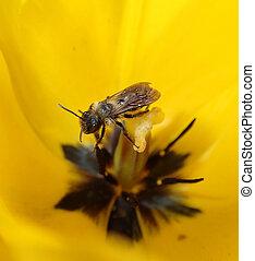 insekt, in, a, gelbe tulpe