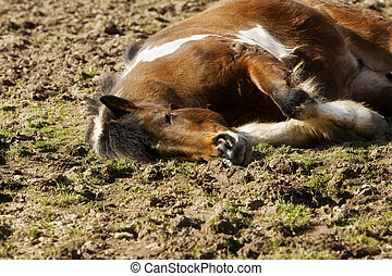 insel, pony