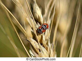 insetos, trigo, orelhas, macro, ladybirds
