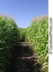 Inside A Corn Maze - Inside of a corn maze.