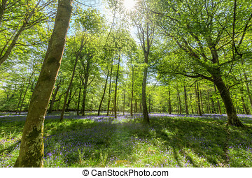 Inside Bluebell Wood - View inside a bluebell wood with...