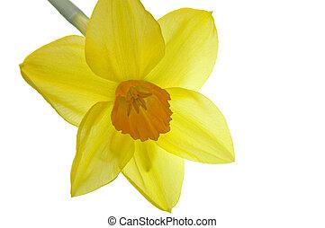 Inside Corona of Yellow Daffodil