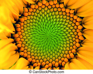 inside Sunflower - inside one sunflower