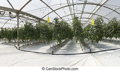 Inside the greenhouse - Hydroponic cultivation of tomatoes...