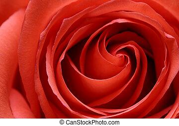 inside the rose