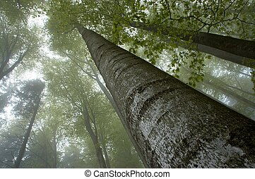 Insight into the treetops - Looking to the misty trees beech...
