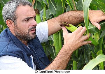 inspeccionando, colheita, agricultor