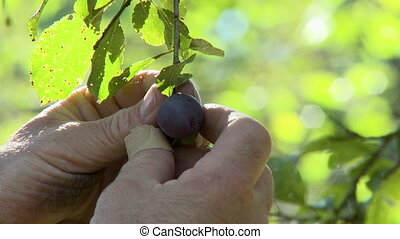 Handheld, close up shot of hand inspecting a blueberry hanging on a branch.