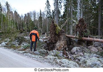 Inspecting fallen trees - Lumberjack inspects storm fallen...