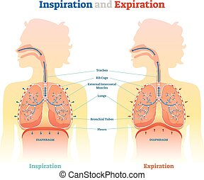 Inspiration and Expiration anatomical vector illustration diagram, educational medical scheme with lungs, diaphragm, rib cage and trachea.