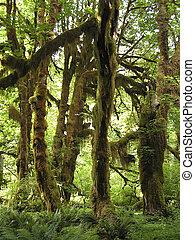inspiring rain forests of Hoh Rain,Olympic National Park,...