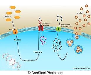 Insulin secretion - Illustration of insulin secretion in...