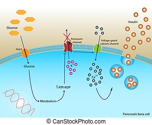 Illustration of insulin secretion in pancreatic cells, induced by glucose