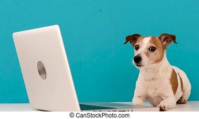 intérêt, chien, regarder, ordinateur portable
