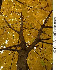 intérieur, arbre, érable, automne