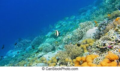 Intact coral wall with high density of reef fish. Moorish...