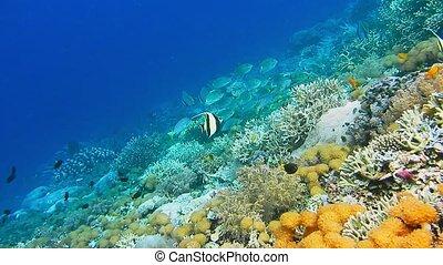 Intact coral wall with high density of reef fish. Moorish Idol.