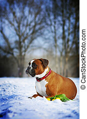 intelligent dog breeds red boxer lies in winter on snow with flowers tulips